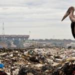 A marabou stock stands on top of a pile of garbage at the Dandora dumpsite with Kasarani International Sports stadium in the background.